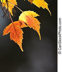 leafs, 秋