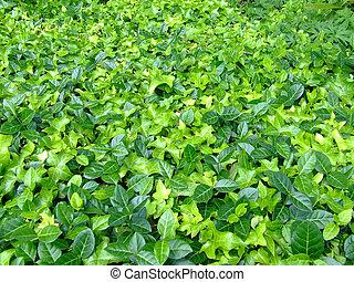 Leafs - A lot of green leafs