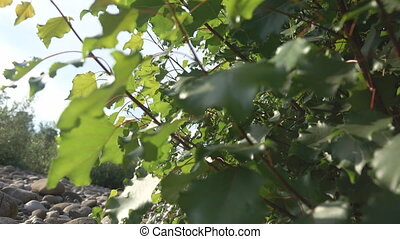 Leafs of common aspen Populus tremula - Leafs of common ...