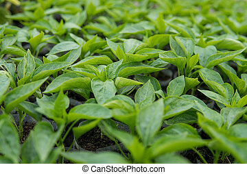 leafs of small pepper plant