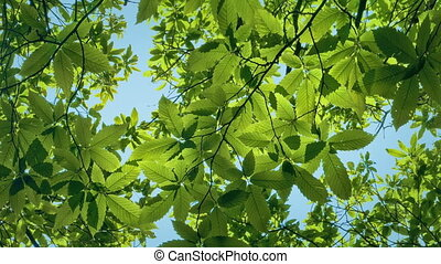 Leafy Branches And Blue Sky Overhead - Looking up through...