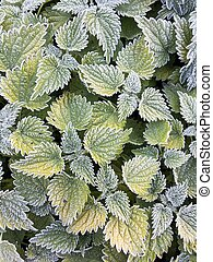 Leafy pattern texture background. Green nettle leaves in hoarfrost