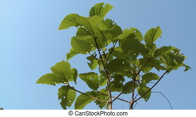 Leafy Teak tree in the blue sky, Taungoo, Myanmar - Close-up...