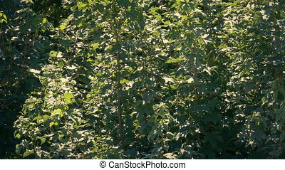 Leafy Trees Moving In Breeze On Sunny Day - Dense foliage...