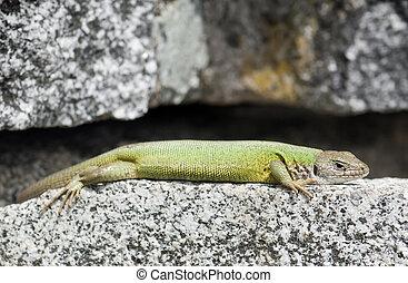Lean european green lizard (Lacerta viridis)