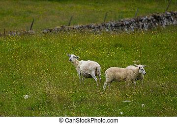 lean sheeps in meadow