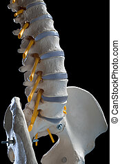 spinal column - learning model of the human spinal columns.
