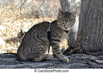 Leashed Tabby - Tabby Cat on leash and harness sitting on...