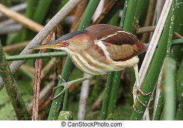 Least Bittern (Ixobrychus exilis) in the Florida Everglades