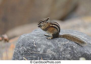 Least Chipmunk eating a seed - Jasper National Park, Canada