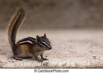 Laest chipmunk (Tamias minimus) closeup