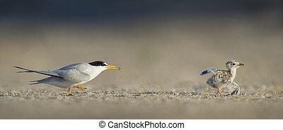 Least Tern Chase