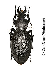 Leather Beetle on white Background - Carabus coriaceus (Linnaeus, 1758)