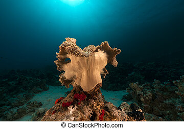 Leather coral in the Red Sea.