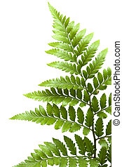 leather-leaf, helecho