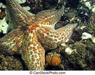 Leather Star(Dermasterias imbricata