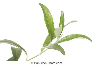 Leave of green tea