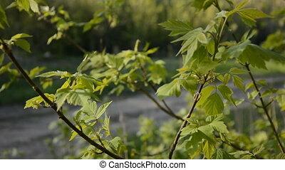 leaves, зеленый, куст, молодой