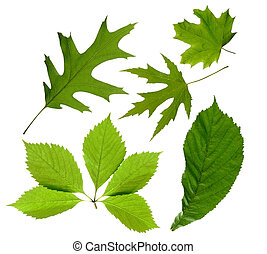 leaves, зеленый, isolated