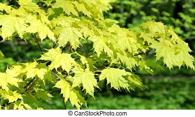 leaves, канадский, кленовый, зеленый