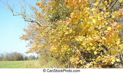 leaves, кленовый, осень, дерево