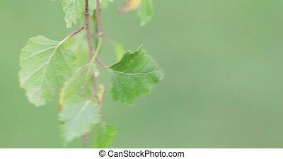 leaves, молодой, береза, дерево