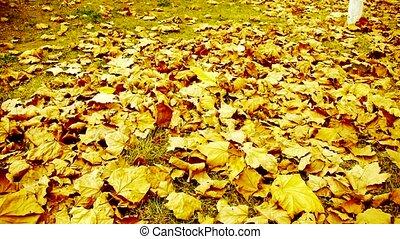leaves, полный, falling, золото, кленовый