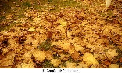 leaves, полный, falling, golde, кленовый