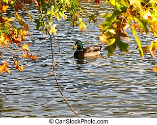 leaves and a duck on the water