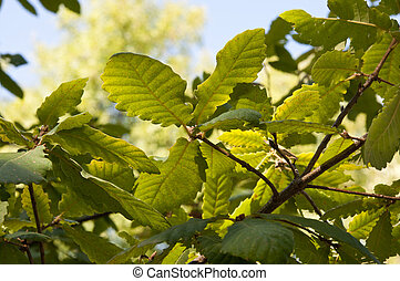 Algerian Oak, Quercus canariensis - Leaves and branches of...
