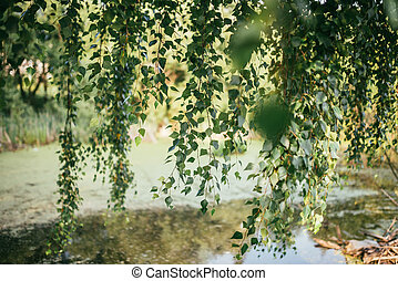 Leaves and branches of birch tree over the river or pond and warm sun shining through. Summer spring background. Selective focus shot with shallow DOF