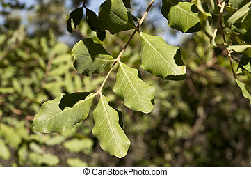 Carob tree, Ceratonia siliqua. - Leaves and branches of...