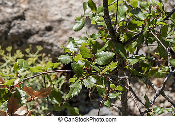 Quercus alpestris - Leaves and branches of Quercus alpestris...