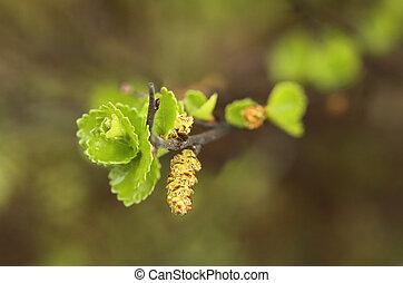 Leaves and catkins of Betula nana, the dwarf birch.