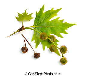 Leaves and fruit of Platanus. planes or plane trees. ...