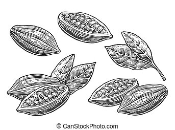 Leaves and fruits of cocoa beans. Vector vintage engraved...