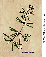 Leaves and stem of stickyweed