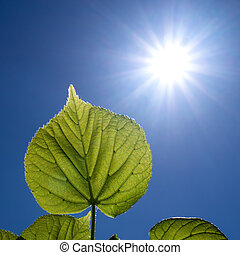 leaves and the sun