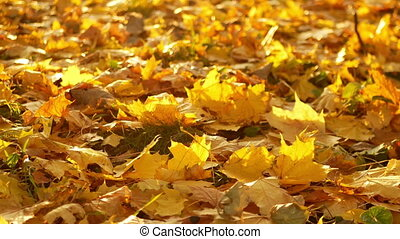 Leaves autumn forest - Foliage carpet. Maple leaves on the...