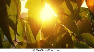Leaves backlit warm sunset color shot with sunflares