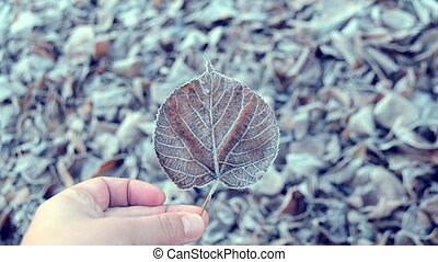 Leaves covered with frost - Person holding dried leaf...