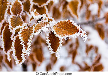 Leaves covered with hoarfrost
