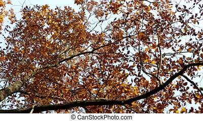 Leaves fall from a bright autumn maple ,