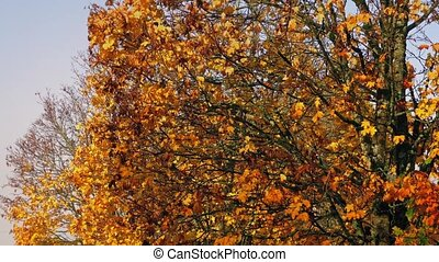 Leaves Falling From Fall Trees - Trees with warm fall colors...