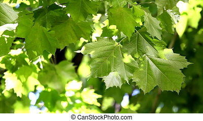 Leaves - Fresh green sycamore leaves