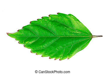 Leaves green isolated on a white background with clipping Path
