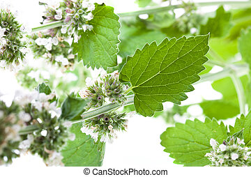 Melissa - Leaves green Melissa (on a white background, small...