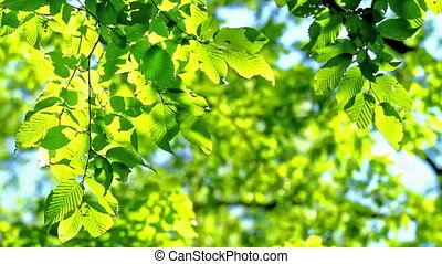 Leaves - Hornbeam leaves in spring