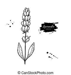 leaves., illustration., herbal, vektor, lavendel, isolerat, teckning, stil, set., inrista, vild blomma