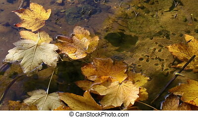Leaves in the water - Water strider